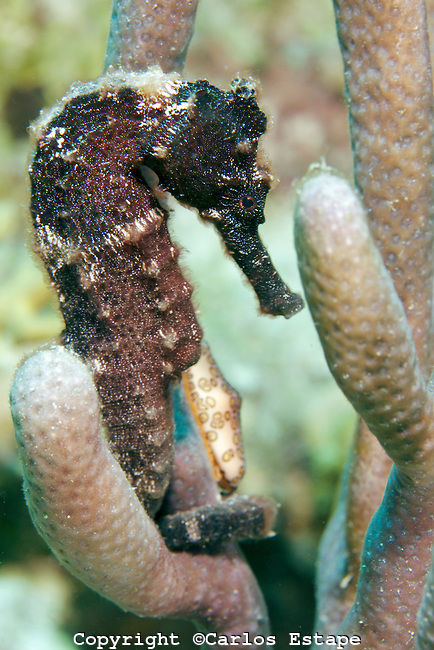Bonaire-CJE-2011-13603-Seahorse